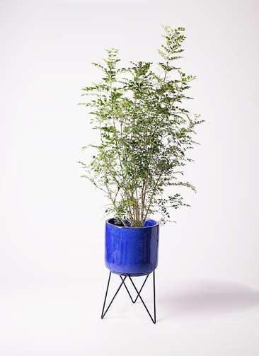観葉植物 シマトネリコ 8号 ビトロ エンデカ ブルー アイアンポットスタンド ブラック 付き