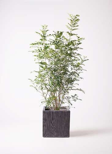 観葉植物 シマトネリコ 8号 ベータ キューブプランター ウッド 茶 付き