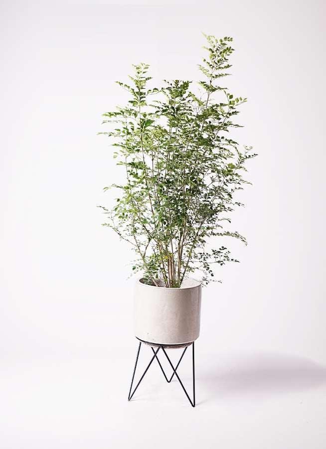 観葉植物 シマトネリコ 8号 ビトロ エンデカ クリーム アイアンポットスタンド ブラック 付き