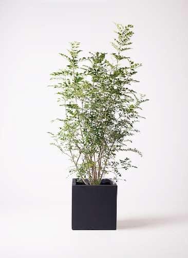 観葉植物 シマトネリコ 8号 ベータ キューブプランター 黒 付き