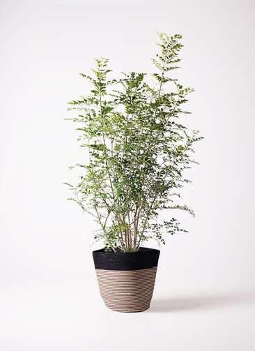 観葉植物 シマトネリコ 8号 リブバスケットNatural and Black 付き