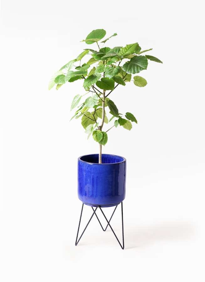 観葉植物 フィカス ウンベラータ 8号 ノーマル ビトロ エンデカ ブルー アイアンポットスタンド ブラック 付き