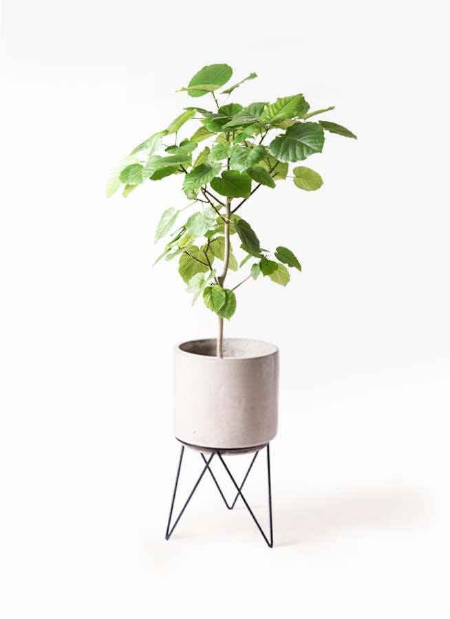観葉植物 フィカス ウンベラータ 8号 ノーマル ビトロ エンデカ クリーム アイアンポットスタンド ブラック 付き