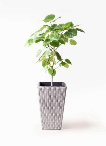 観葉植物 フィカス ウンベラータ 8号 ノーマル ウィッカーポット スクエアロング OT 白 付き