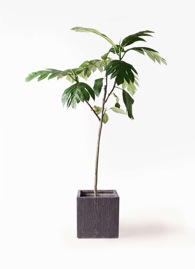観葉植物 パンノキ 8号 ベータ キューブプランター ウッド 茶 付き