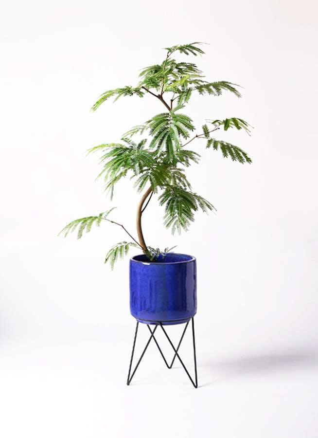 観葉植物 エバーフレッシュ 8号 曲り ビトロ エンデカ ブルー アイアンポットスタンド ブラック 付き