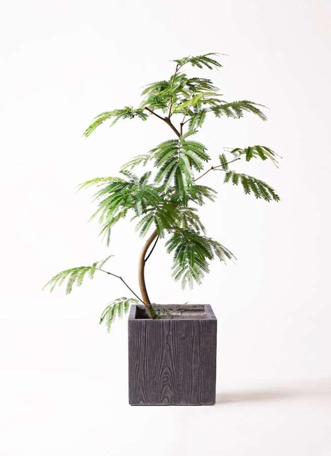 観葉植物 エバーフレッシュ 8号 曲り ベータ キューブプランター ウッド 茶 付き