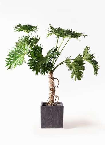 観葉植物 セローム ヒトデカズラ 8号 根あがり ベータ キューブプランター ウッド 茶 付き