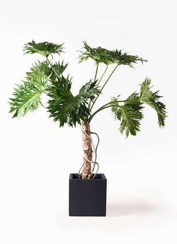 観葉植物 セローム ヒトデカズラ 8号 根あがり ベータ キューブプランター 黒 付き