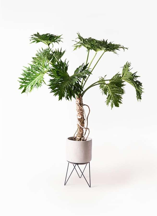 観葉植物 セローム ヒトデカズラ 8号 根あがり ビトロ エンデカ クリーム アイアンポットスタンド ブラック 付き