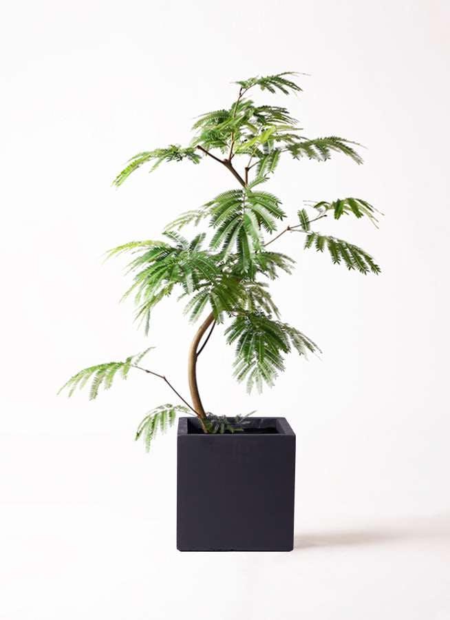 観葉植物 エバーフレッシュ 8号 曲り ベータ キューブプランター 黒 付き