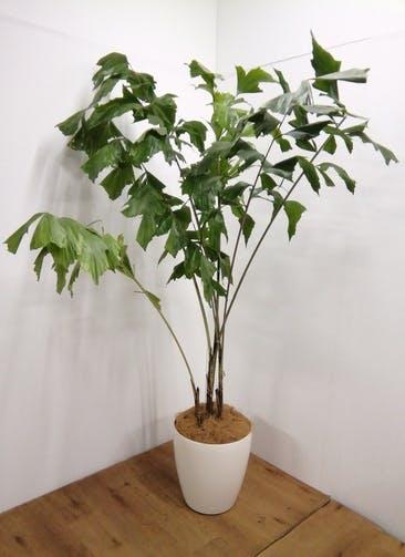 観葉植物 【200cm】クジャクヤシ 10号 ラスターポット付き #24591 ※1都3県配送限定商品