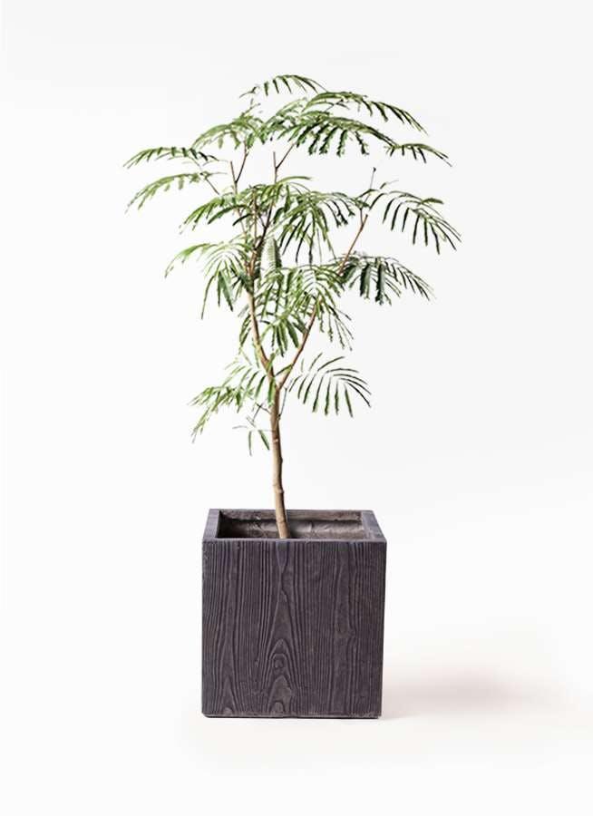 観葉植物 エバーフレッシュ 8号 ボサ造り ベータ キューブプランター ウッド 茶 付き