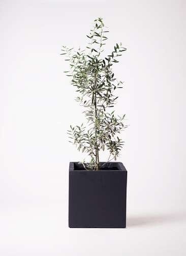 観葉植物 オリーブの木 8号 チプレッシーノ ベータ キューブプランター 黒 付き