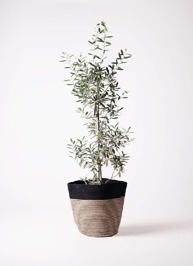 観葉植物 オリーブの木 8号 チプレッシーノ リブバスケットNatural and Black 付き