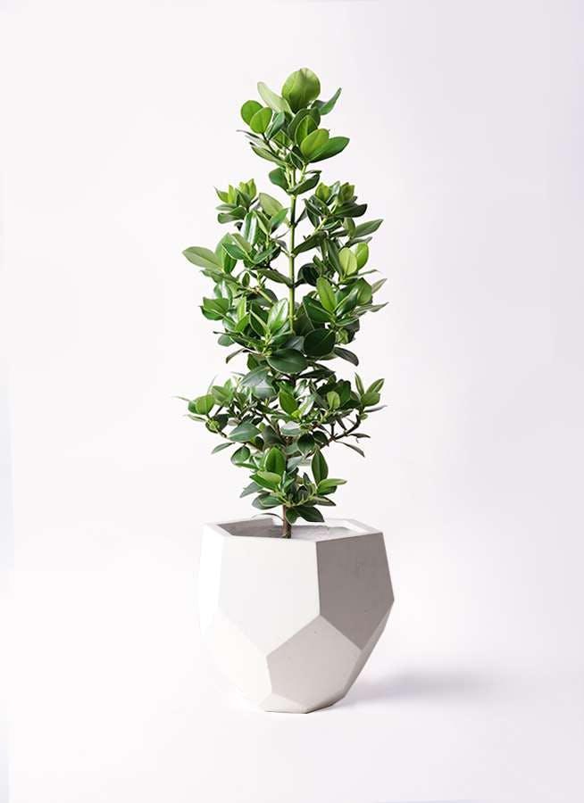 観葉植物 クルシア ロゼア プリンセス 8号 ポリゴヘクサ 白 付き