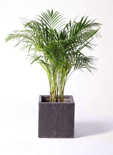 観葉植物 アレカヤシ 8号 ベータ キューブプランター ウッド 茶 付き