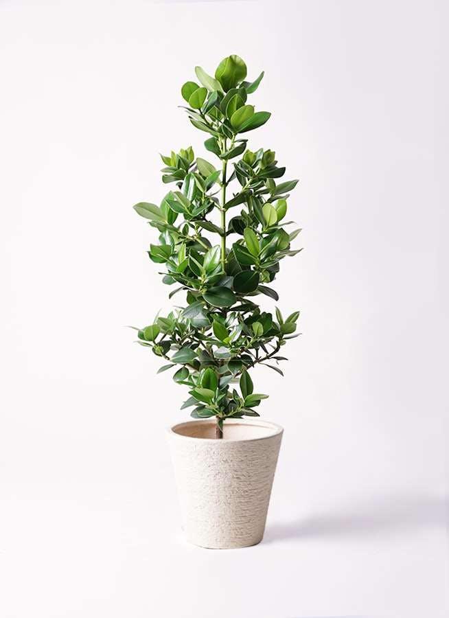 観葉植物 クルシア ロゼア プリンセス 8号 ビアスソリッド 白 付き