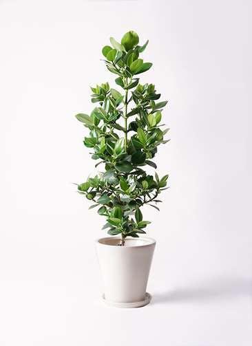 観葉植物 クルシア ロゼア プリンセス 8号 サブリナ 白 付き