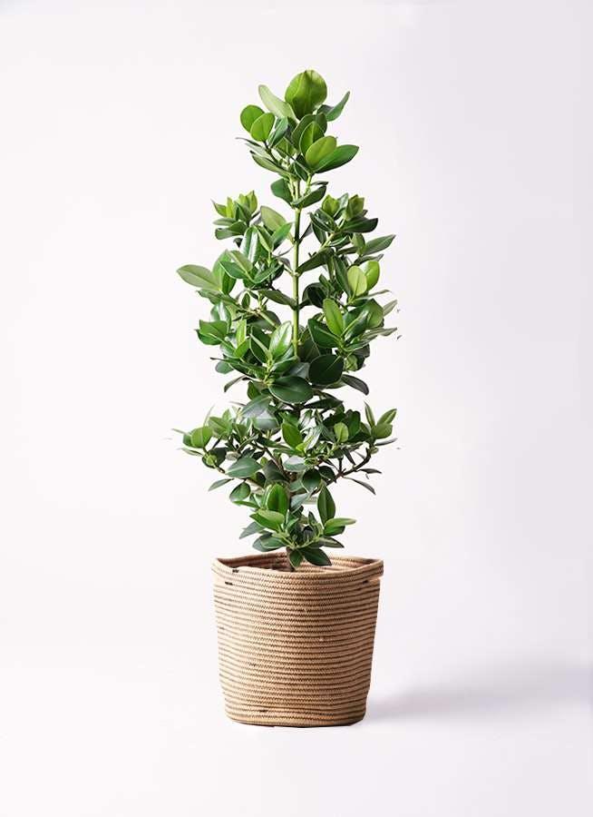 観葉植物 クルシア ロゼア プリンセス 8号 リブバスケットNatural 付き