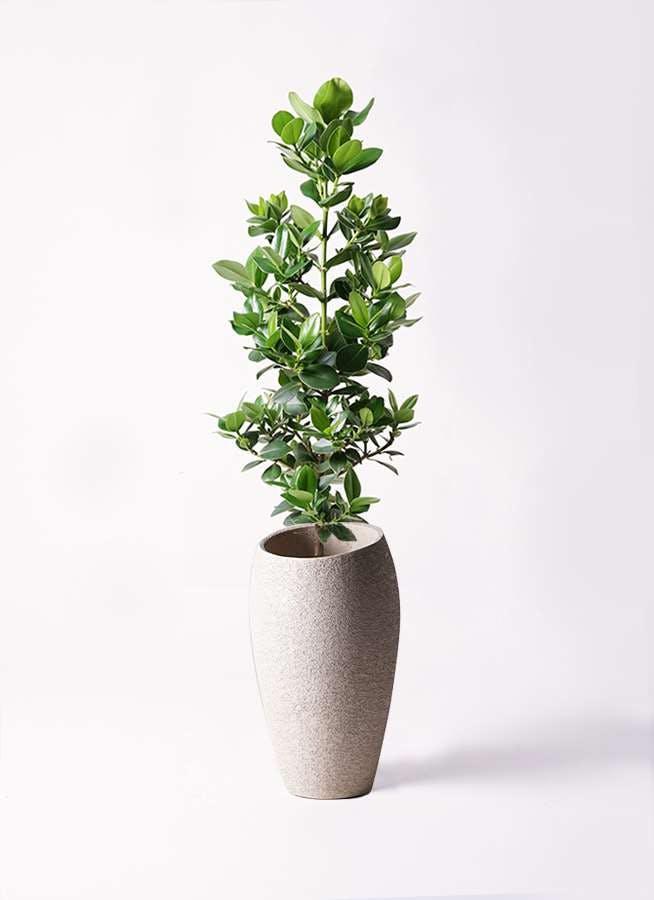 観葉植物 クルシア ロゼア プリンセス 8号 エコストーントールタイプ Light Gray 付き