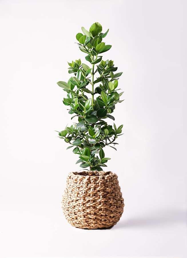 観葉植物 クルシア ロゼア プリンセス 8号 ラッシュバスケット Natural 付き