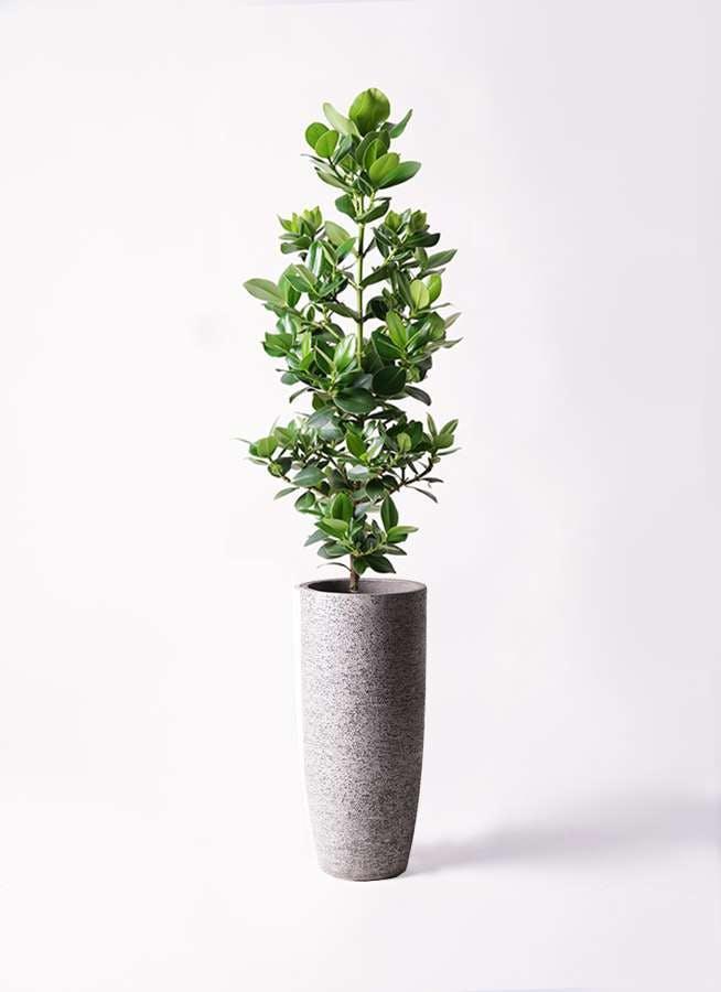 観葉植物 クルシア ロゼア プリンセス 8号 エコストーントールタイプ Gray 付き