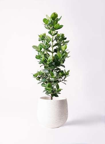 観葉植物 クルシア ロゼア プリンセス 8号 エコストーンwhite 付き