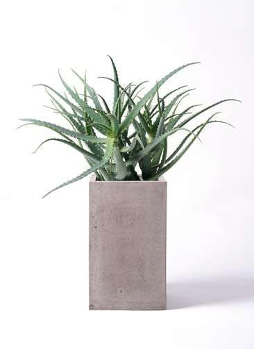 観葉植物 キダチアロエ 8号セドナロング グレイ 付き
