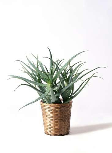 観葉植物 キダチアロエ 8号竹バスケット 付き