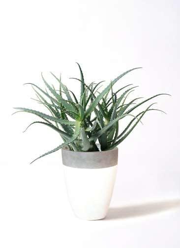 観葉植物 キダチアロエ 8号ファイバーストーンカプリ 白 付き