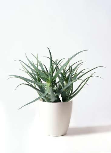 観葉植物 キダチアロエ 8号ラスターポット 付き