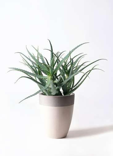 観葉植物 キダチアロエ 8号ファイバーストーンカプリ サンディホワイト 付き