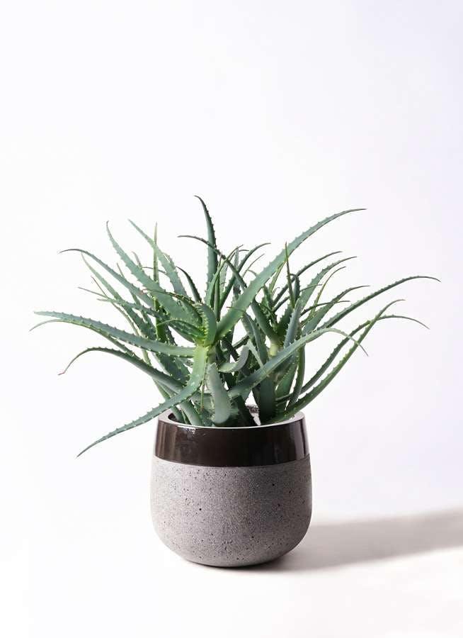 観葉植物 キダチアロエ 8号ファイバーストーンタウルス 黒 付き