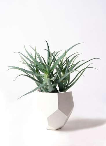観葉植物 キダチアロエ 8号ポリゴヘクサ 白 付き