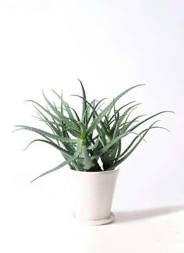 観葉植物 キダチアロエ 8号サブリナ 白 付き
