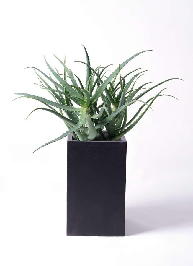 観葉植物 キダチアロエ 8号セドナロング 墨 付き