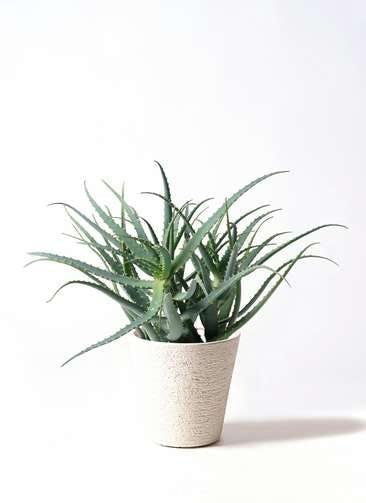 観葉植物 キダチアロエ 8号ビアスソリッド 白 付き