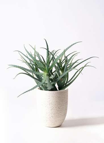 観葉植物 キダチアロエ 8号ビアスアルトエッグ 白 付き