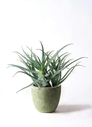 観葉植物 キダチアロエ 8号アビスソニアミドル 緑 付き