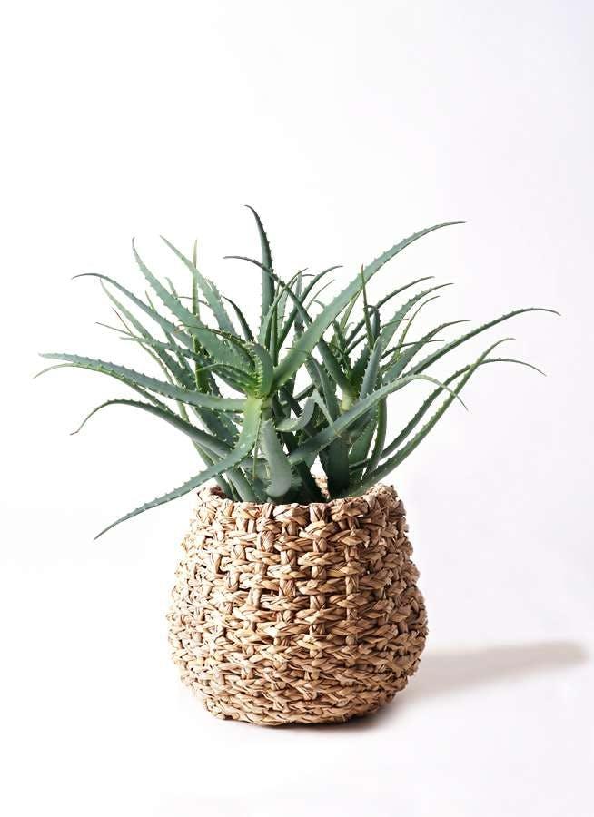 観葉植物 キダチアロエ 8号ラッシュバスケット Natural 付き