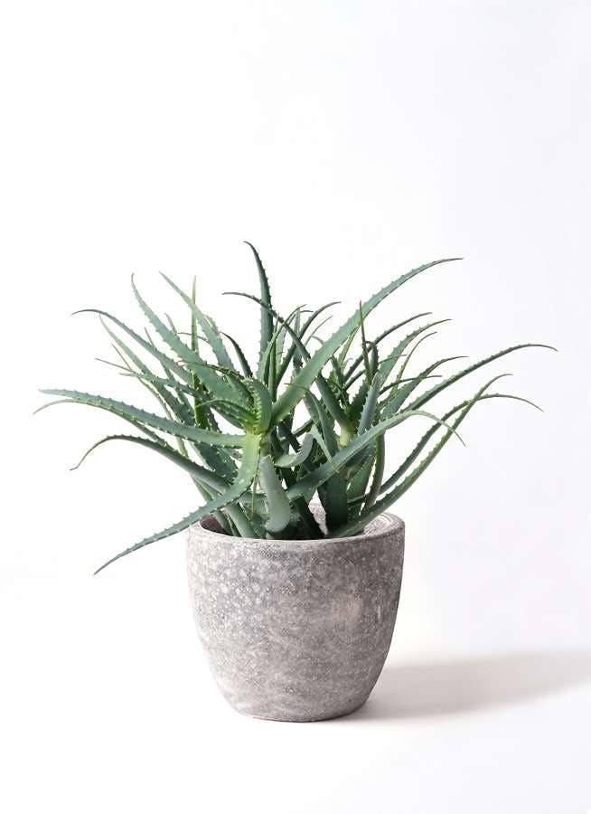 観葉植物 キダチアロエ 8号アビスソニアミドル 灰 付き