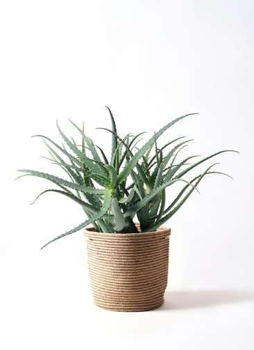 観葉植物 キダチアロエ 8号リブバスケットNatural 付き