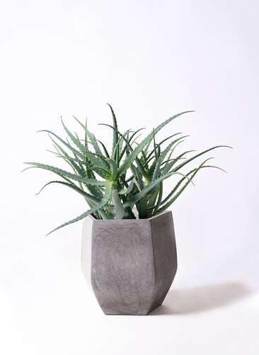観葉植物 キダチアロエ 8号ファイバークレイ Gray 付き