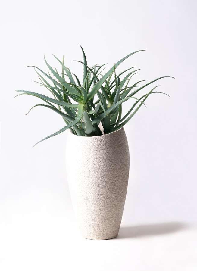 観葉植物 キダチアロエ 8号エコストーントールタイプ Light Gray 付き