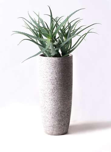 観葉植物 キダチアロエ 8号エコストーントールタイプ Gray 付き