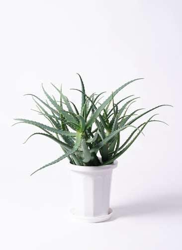 観葉植物 キダチアロエ 8号プラスチック鉢