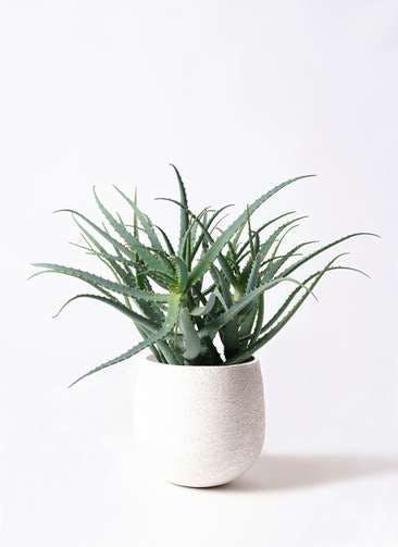観葉植物 キダチアロエ 8号エコストーンwhite 付き