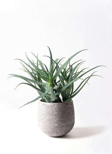 観葉植物 キダチアロエ 8号エコストーンGray 付き