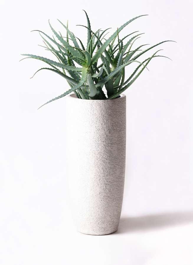 観葉植物 キダチアロエ 8号エコストーントールタイプ white 付き